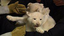 У зоопарку Німеччини показали білих левенят