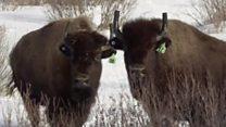 У Канаді повертають у природу бізонів