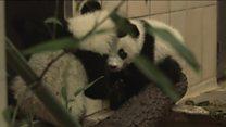 Маленьким пандам у Відні виповнилось півроку