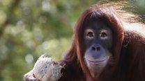 Eavesdropping on orangutans (and translating)...