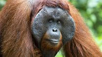 How orangutan squeaks could reveal human's first words