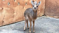 Orphaned baby antelope 'no bigger than a bottle of pop'