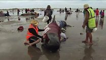 New Zealand volunteers in race to rescue whales