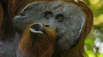 """Орангутанги говорят на языке """"воздушного поцелуя"""""""