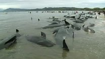 Hundreds of New Zealand whales beached