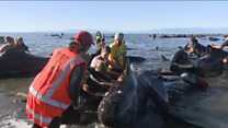 Frantic bid to save stranded whales