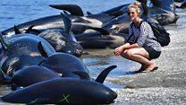 مئات الحيتان على شاطئ في نيوزيلاندا