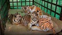 India tiger cubs 'adopt' stuffed toy