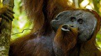 ¿Sonaron las primeras palabras de los humanos como los chasquidos de un orangutan?