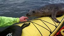Seal hitches ride on kayak