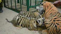 Filhotes orfãos de tigre 'adotam' mãe de pelúcia