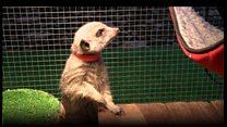 Meet the therapy meerkats