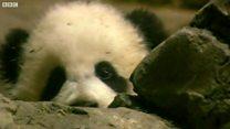 在华盛顿出生的熊猫宝宝返回中国