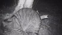 Neutering project to protect wildcats