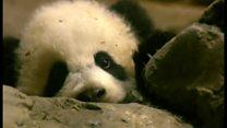 米動物園の人気パンダ、中国に返還へ