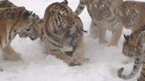 Дрон як заманка: як не дають товстішати тиграм