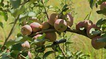 Lesotho's 'pilot' fruit and flower farm