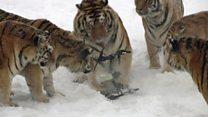 La ingeniosa manera de hacer ejercitar unos tigres en China pasados de kilos