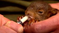 Baby red squirrel orphan rescued by Wildlife Trust