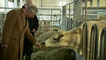 Prince Charles meets rare cattle
