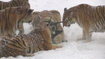 Para se exercitar, tigres derrubam drones na China