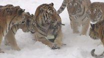 เสือไซบีเรียในจีนออกกำลังกาย