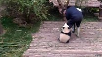 Clingy panda racks up 163m hits online