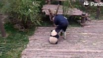 Filhote de panda 'carente' vira sensação na internet por apego a cuidador