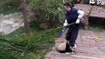 El adorable panda que no quería soltar la pierna de su cuidador