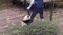 Не втечеш: маленька панда не відпускає доглядача