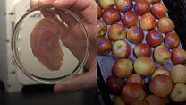 Elma dilimlerinden yapay kulak üretildi