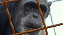Film looks at chimpanzee rights