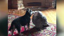 جرو وبومة ثلجية تجمعهما صداقة غريبة