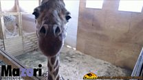 Millions wait for giraffe to give birth