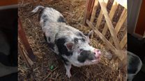 Pig evicted from owner's house