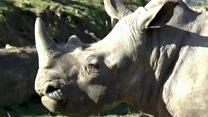 Браконьеры убили носорога во французском зоопарке