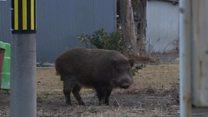 Забруднені радіацією міста захопили дикі свині