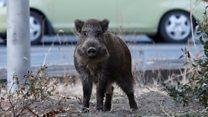 Wild boars take over evacuated Fukushima
