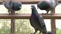 हवा में प्रदूषण नापते कबूतर