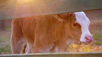 The calf who survived the slaughterhouse
