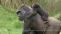 أيبولا يقضي على 30% من القردة خلال 30 عاما