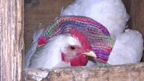 The women who knit sweaters for chickens