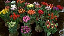 Вибори у Нідерландах, пояснені через тюльпани