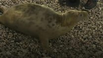 Seal pup convinced to return to wild