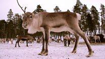 Experiencing life as a reindeer herder