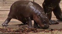 У Сіднеї показали карликового бегемота