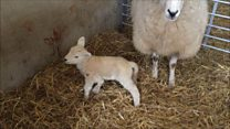 Farm welcomes five-legged lamb