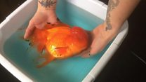 Meet the super-sized goldfish