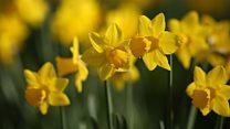 Noma Dumezweni reads Wordsworth's Daffodils