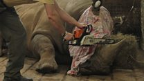 Why this zoo is cutting off rhino horns